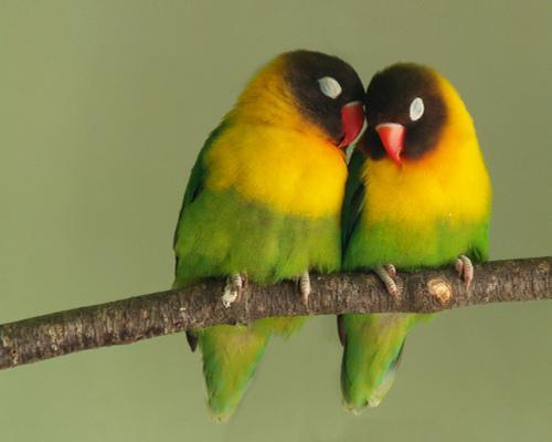 Although monogamy and lifelong bonds are generally rare in the animal kingdom, there are some animals that pull it off. 11 animals that mate for life