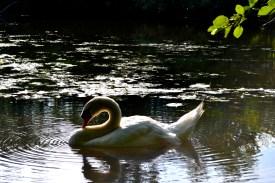 A beautiful surprise! Serene Swans