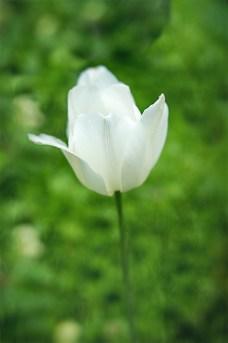 Tulip_White