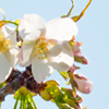 【2019年 桜の満開日は?】清澄庭園でのお花見〜今週末が予約の狙い目!
