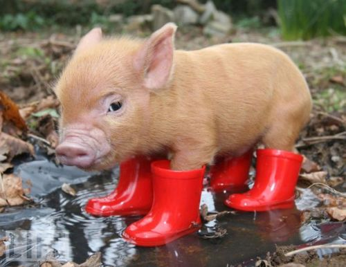 Oink of Joy