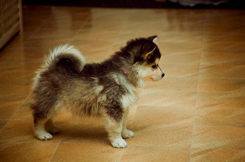 Pomsky:Pomeranian + Siberian Husky mix