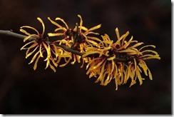 Hamamélis - plante pour femme