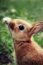 spring lapin