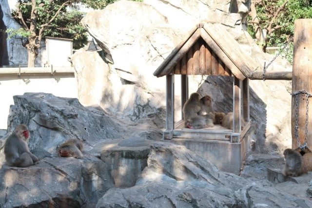"""Different classes of """"citizens"""" in the world of Japanese Macaque (Snow Monkey)"""