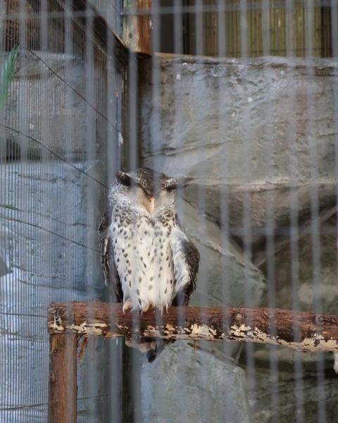 Wise Looking Owl Tokyo Zoo