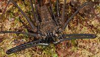 Amazonian whip (yo ass) spider