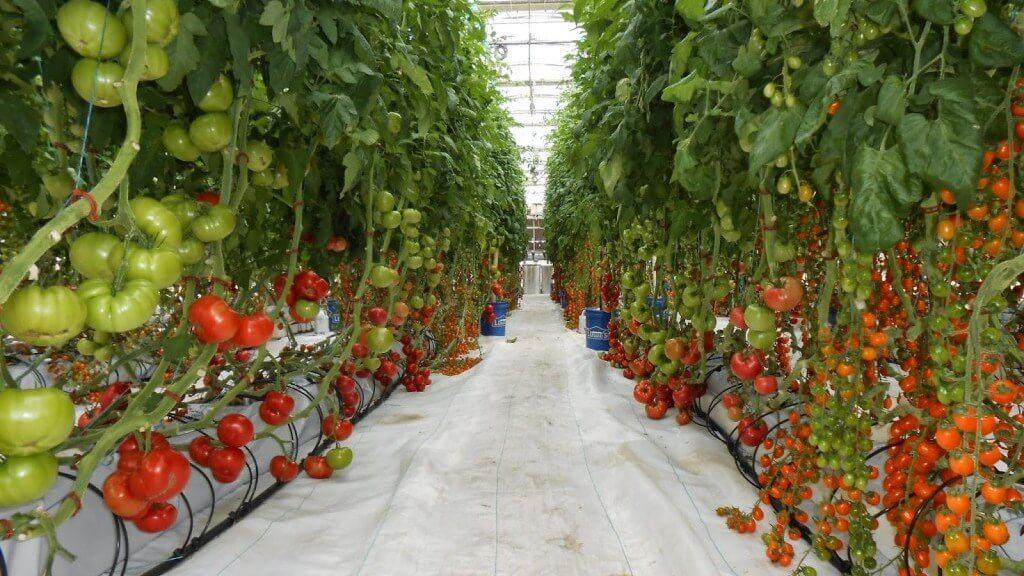 ВЧехии теплом майнинговой фермы вырастили урожай помидоров