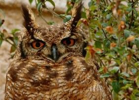 Cape Eagle Owl Mom