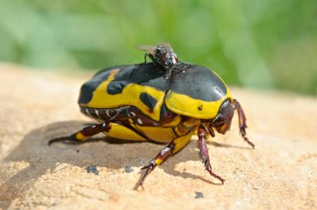Hitching a Ride on a Fruit Beetle