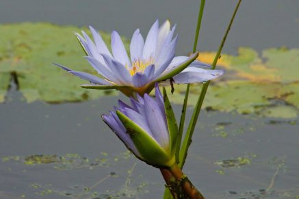 Water Lillies 3