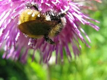 3.1247643643.thistle-bee