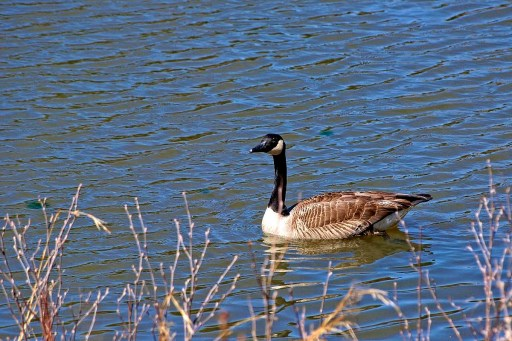 Canada goose on guard