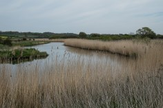 River Stour - the southern arm. Those reeds may have had reed warblers in them but we never saw any!