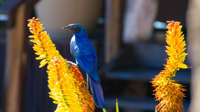 Blue bird - Arathusa Safari Lodge, South Africa