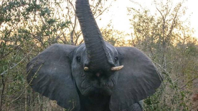 Adolescent male elephant protecting his siblings - Arathusa Safari Lodge, South Africa