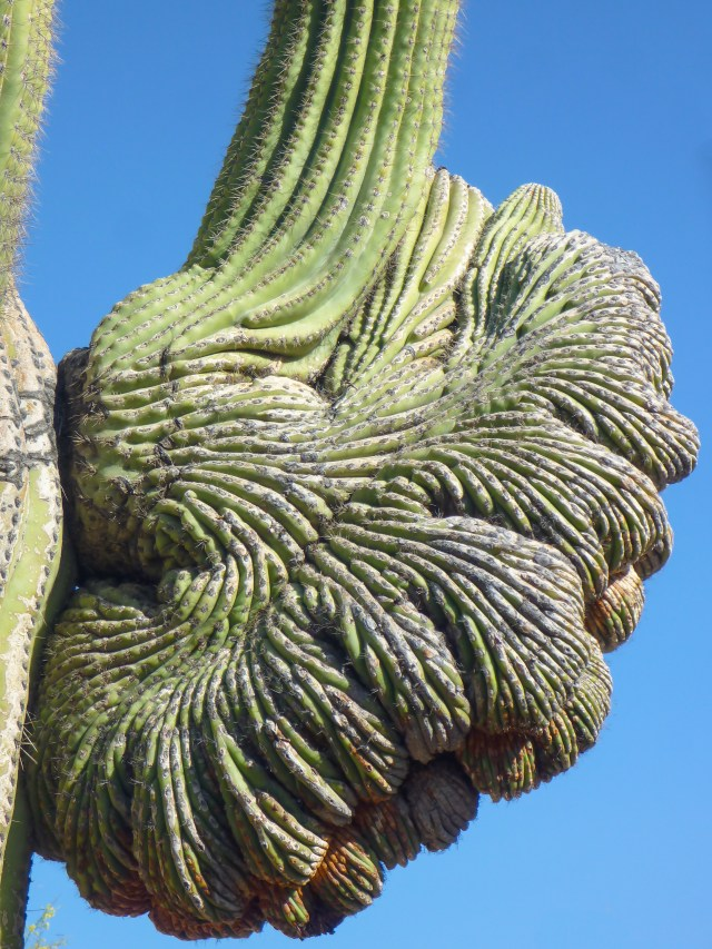 Saguaro cactus at the Desert Botanical Garden, Phoenix, AZ