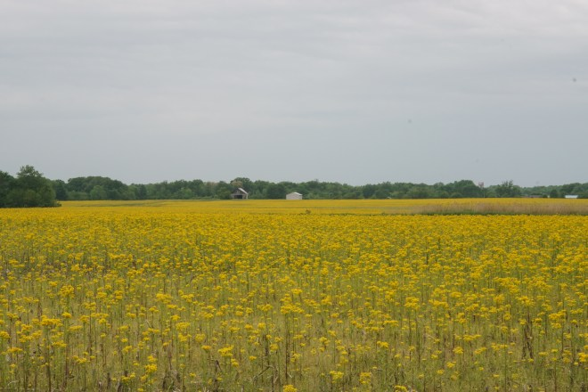 Yellow fields in the big flat farming land of central Illinois