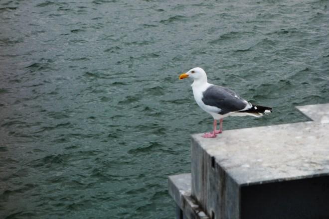 Seagull in Bandon, Oregon