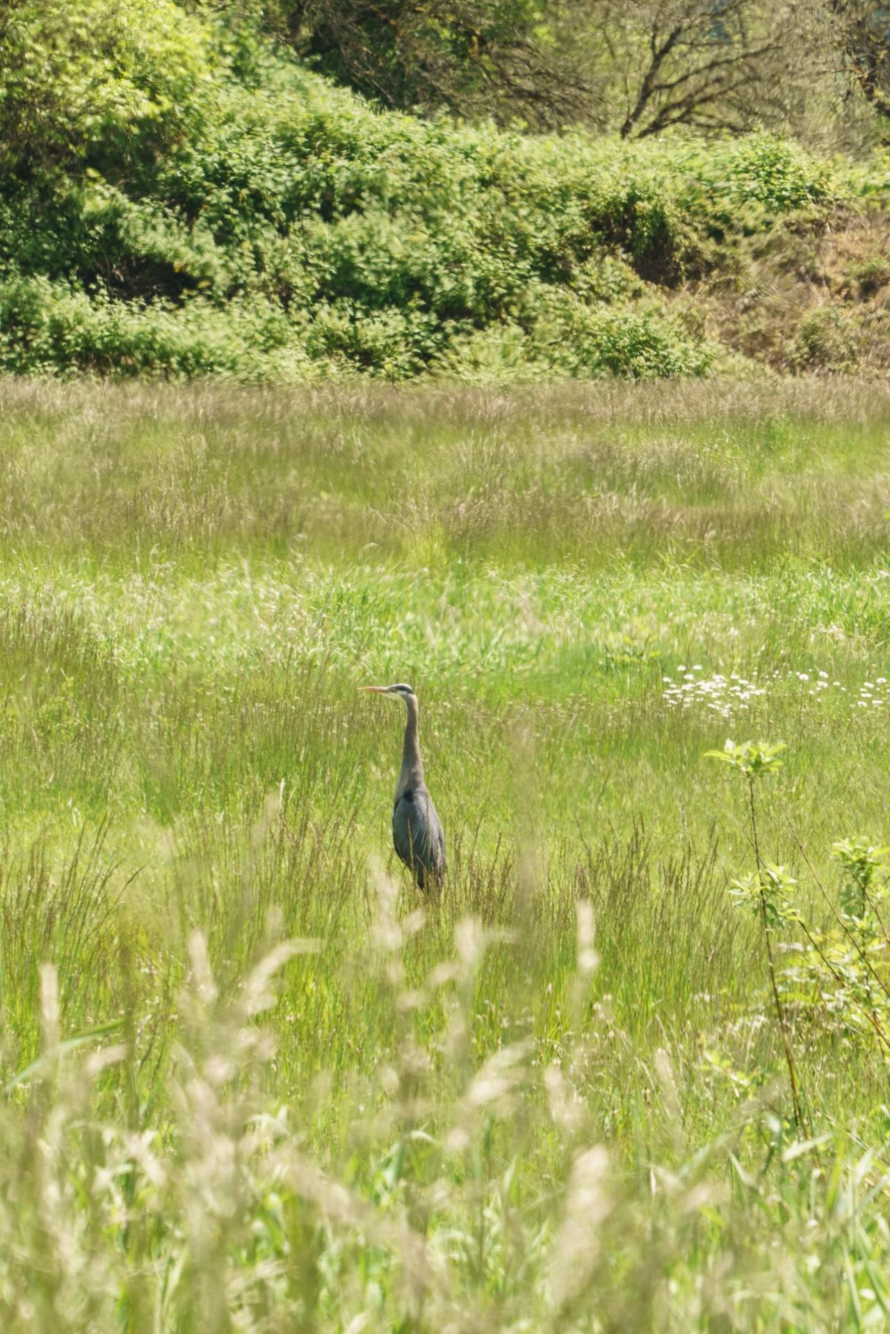 Great blue heron at the Ridgefield Bird Sanctuary