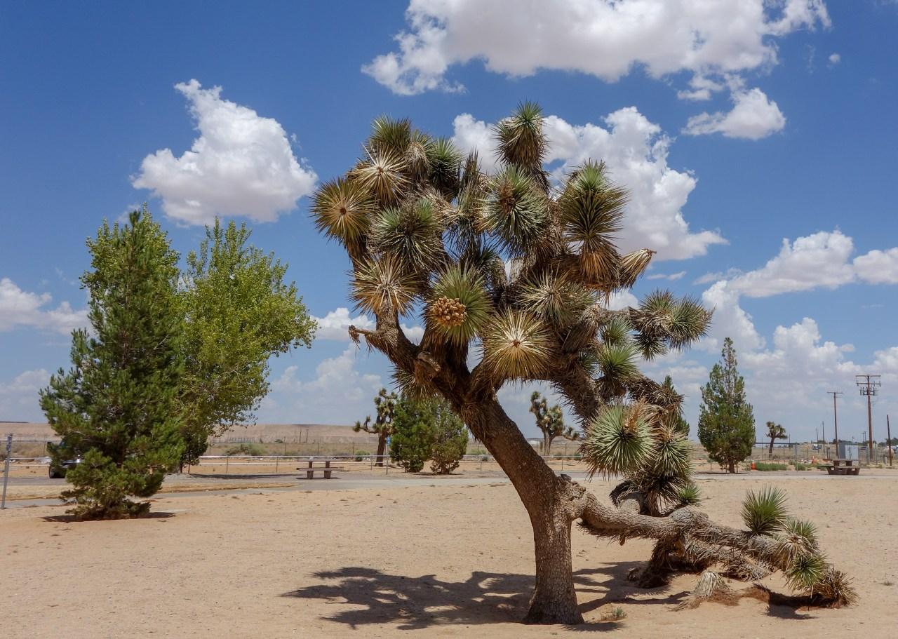 Joshua tree near Boron, CA