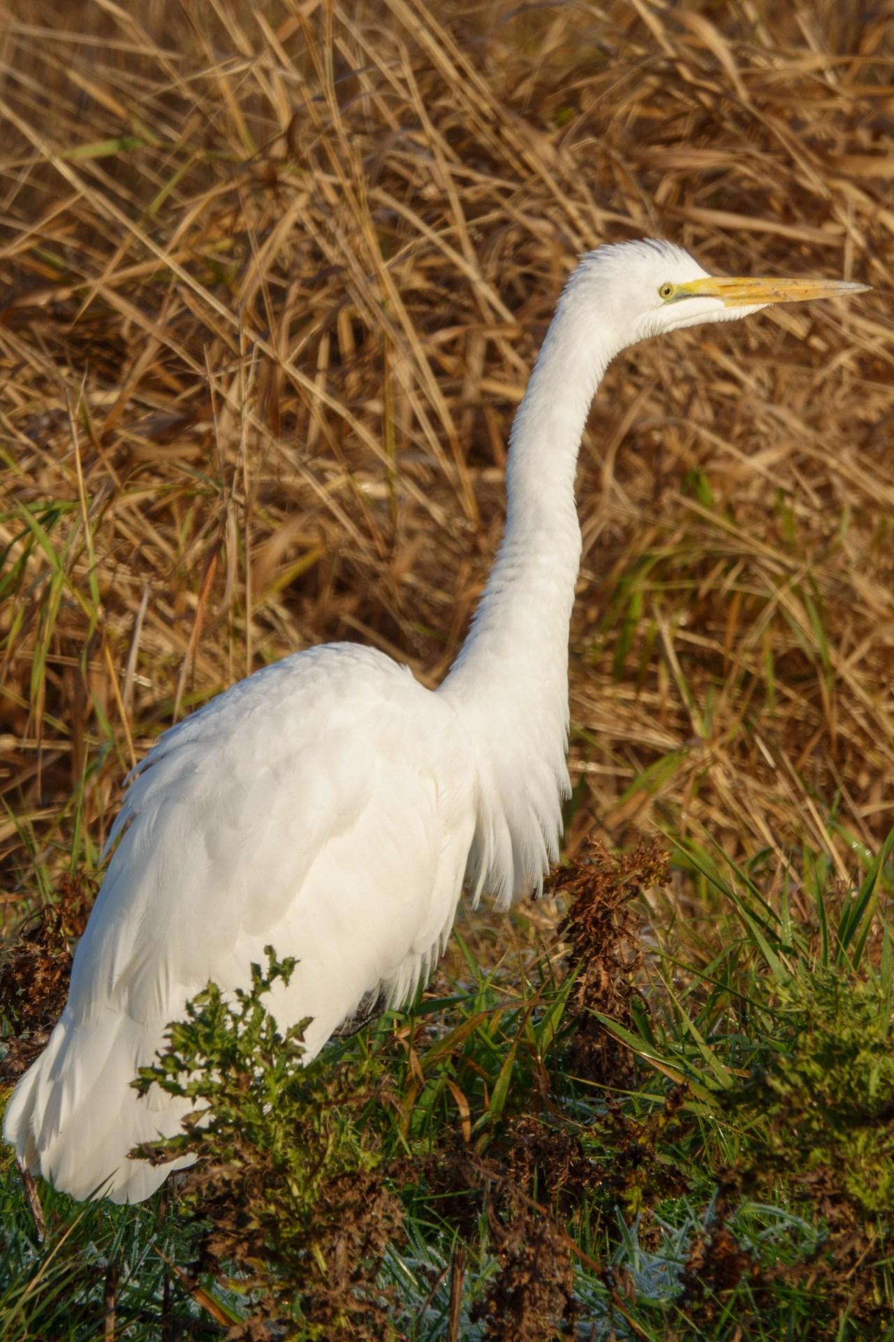 After LightRoom auto tone adjustment: Great Egret at Ridgefield Wildlife Refuge