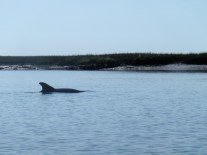 Atlantic bottlenosed dolphins swim in the tidal rivers. The most productive land acres on Earth, salt marshes teem with life and act as nurseries for many species of fish, shellfish, and birds.