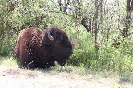 En bisonoxe utanför bilfönstret i Caprock Canyons State Park