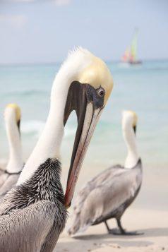 Pelikaner på stranden