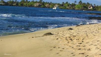 Hawaii: Schildkröten am Strand von Hualalai