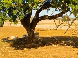 Schafe unter mallorquinischem Baum