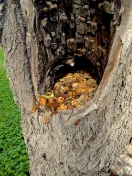 Schlechtes Versteck für Nüsse auf Mallorca