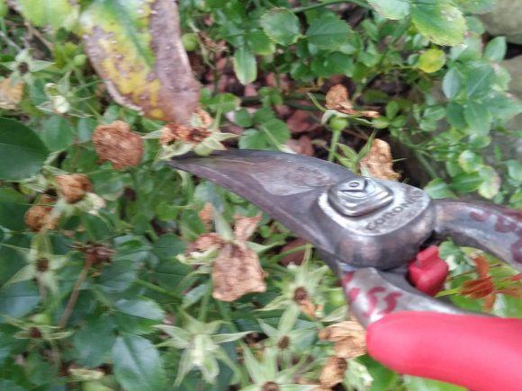 deadheading, shrub pruning,