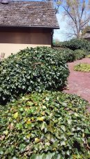 ivy-before-trim