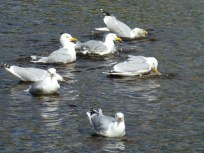 Gulls bathing in the River Ness.