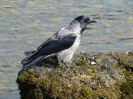 Hooded Crow feeding beside the River Ness.