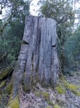 Huon Pine stump with notches for standing planks.