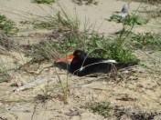 Nesting Pied Oystercatcher