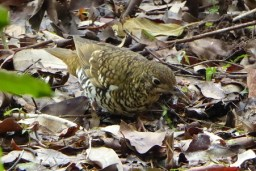 Bird scratching about in leaf litter.