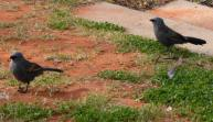 Wilcannia birds which sound like cats.