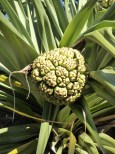 Pandanus fruit.