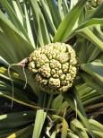 Pandanus fruit.