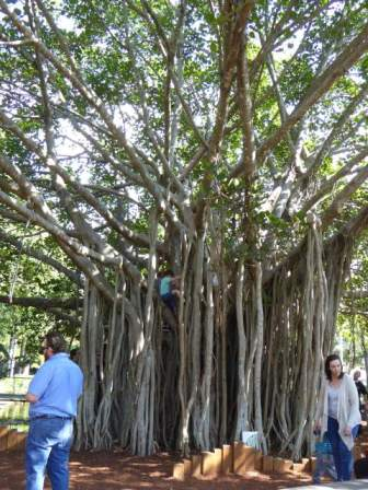 A wonderful Banyan Tree.