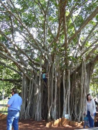 A wonderful Banyan Tree.
