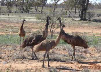 A family of Emus