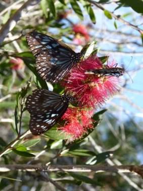 Butteflies feeding on Bottlebrush.