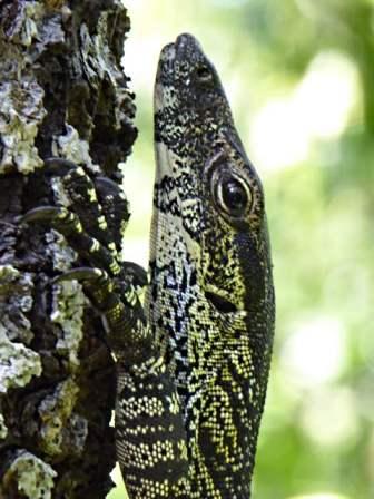 Closeup of a lizard, about 1 metre long.