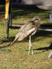 Curlew? hanging around the campsite.