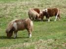 Very small Shetland ponies.