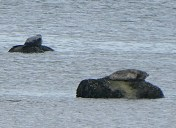 The only seals I managed to photograph. Cromarty Firth.